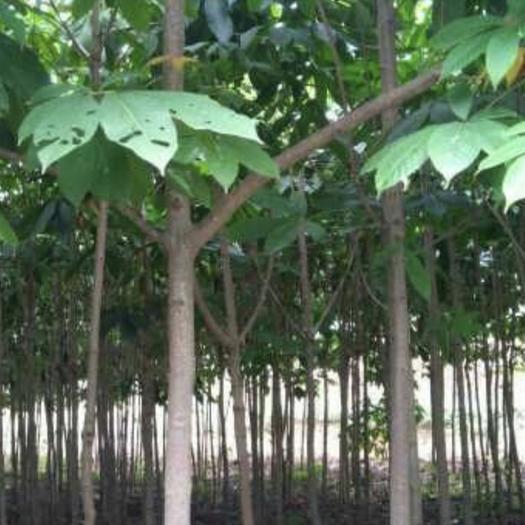 陜西省西安市周至縣 七葉樹