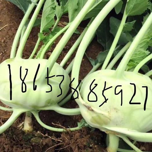 山東省泰安市岱岳區 高品質水果苤藍,含糖10度,全年供應,畝產2萬斤