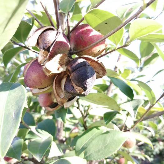 貴州省黔東南苗族侗族自治州鎮遠縣 貴州野生油茶籽