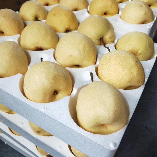 山西省運城市臨猗縣 山西運城黃土高坡冰糖蜜梨 果型飽滿水分充盈色澤金黃