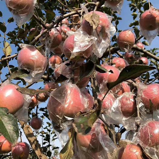 陜西省渭南市大荔縣紅富士蘋果 70mm以上 片紅 膜袋