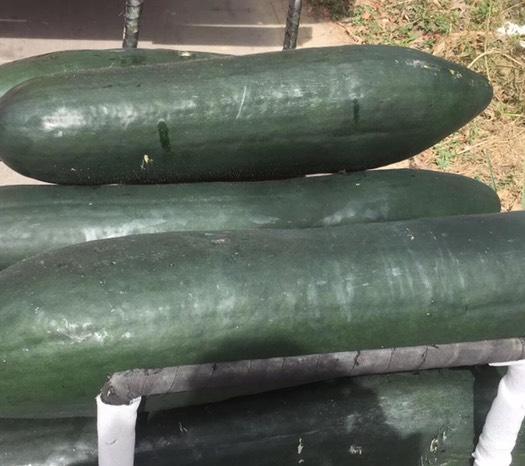 廣西壯族自治區玉林市福綿區 廣西玉林黑皮冬瓜均重25斤以上靚瓜!
