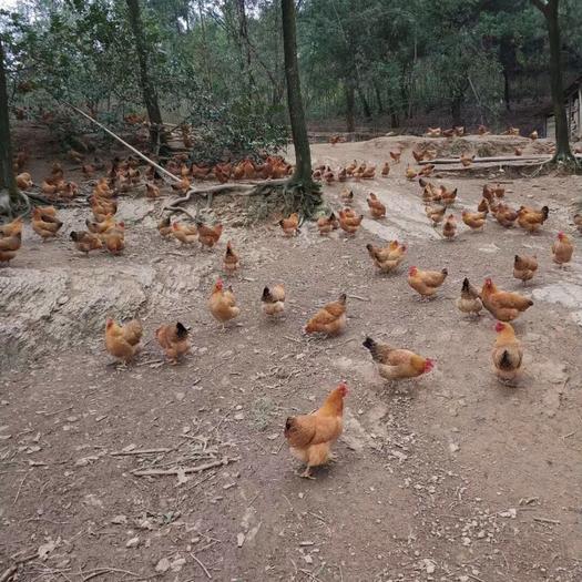 廣西壯族自治區南寧市西鄉塘區 深山土雞