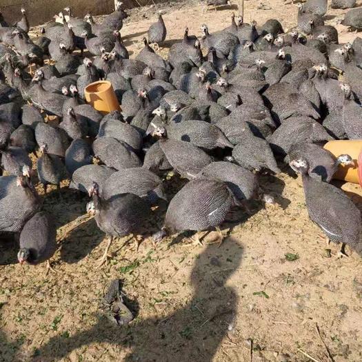 廣西壯族自治區欽州市靈山縣 珍珠雞120天,有想要的嗎,