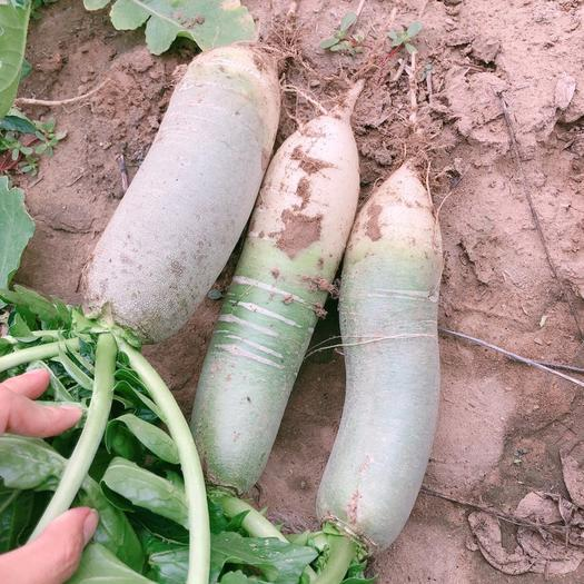 山東省濰坊市坊子區 自己家種的蘿卜,又脆又甜,3毛一斤2000斤起售