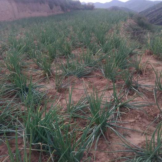 陜西省榆林市米脂縣 陜北大紅蔥