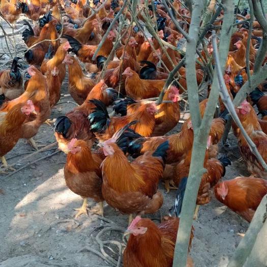 廣西壯族自治區欽州市浦北縣 玉米粉土雞 四斤六左右一只