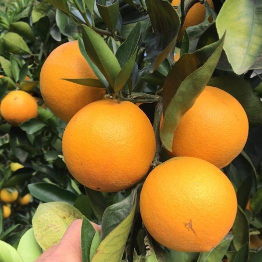 貴州省黔南布依族苗族自治州羅甸縣甜橙 10多萬斤自家臍橙大量上市