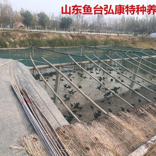 山東省濟寧市任城區 黑水雞 黑水雞苗 黑水雞種雞
