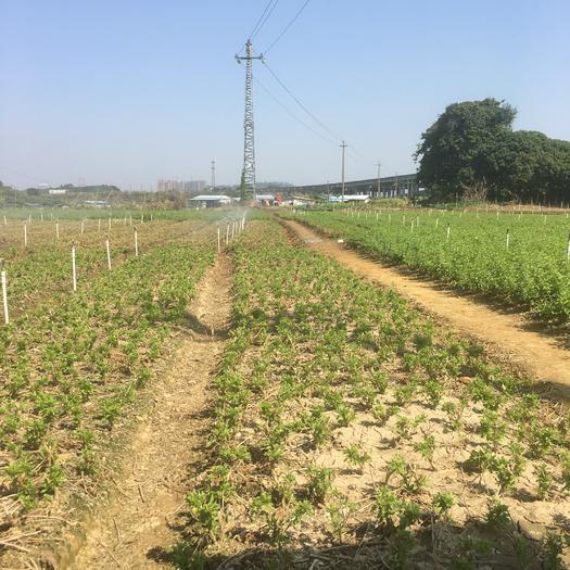廣東省惠州市惠城區綠色枸杞 統貨