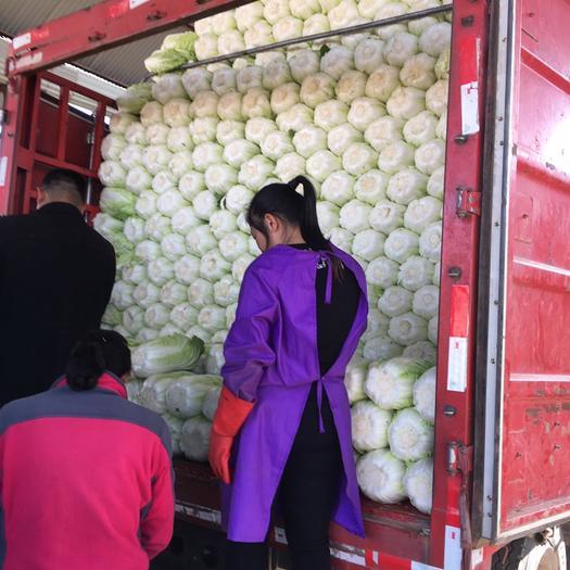 河北省保定市定州市 大白菜每天都在打精品包裝,產品發往南方各大城市。