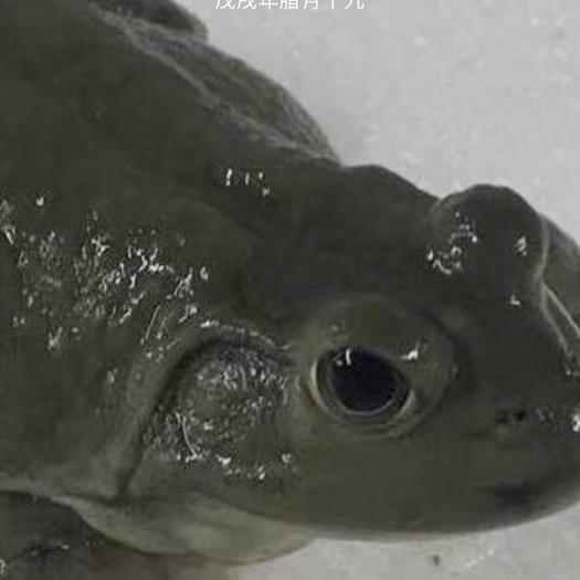 重慶市渝中區牛蛙 人工養殖