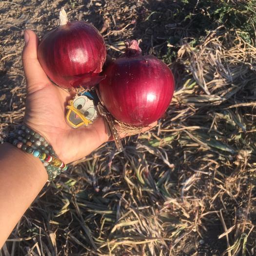 新疆維吾爾自治區烏魯木齊市沙依巴克區 烏魯木齊九鼎批發燕子家的洋蔥,敬請關注!