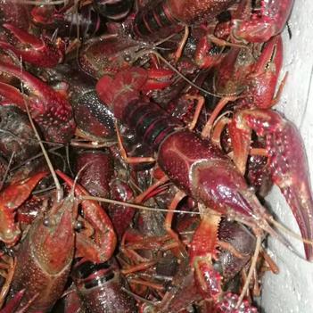 湖北潜江-小龙虾,万亩养殖技术 基地、专人挑选、质量好,