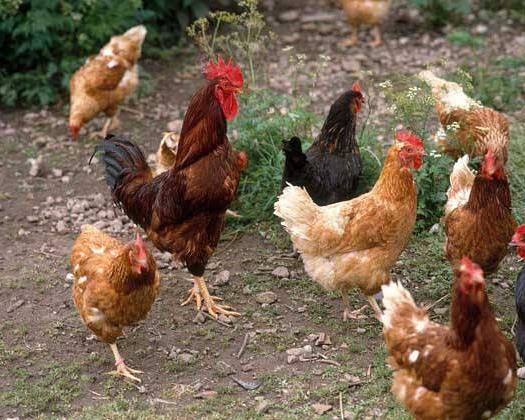 湖北省隨州市廣水市肉雞 3-4斤 統貨