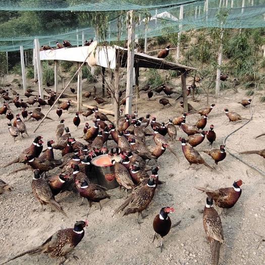 河南省周口市太康縣 野雞七彩山雞