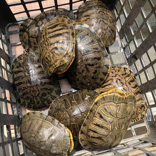 上海市寶山區 烏龜大巴西龜巴西紅耳龜可食用巨型特大萌龜