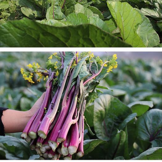四川省內江市威遠縣 新鮮紅油菜苔基地直銷 現采現賣 大量現貨