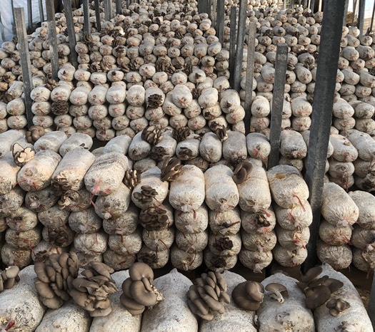 山東省濟寧市鄒城市 平菇新鮮平菇