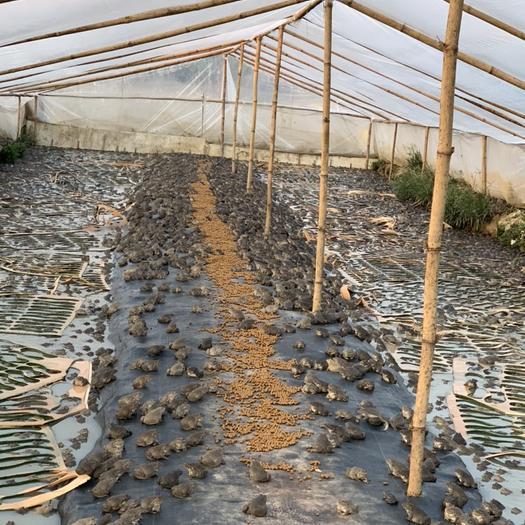 廣東省廣州市花都區泰蛙 人工養殖