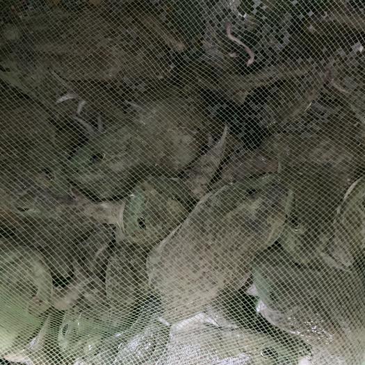 浙江省杭州市蕭山區 牛蛙大量批發 質優價廉