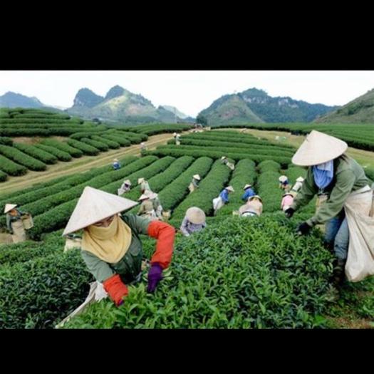 安徽省池州市東至縣搬運工 專業提供各季節的成熟果實、茶葉采摘服務團隊,肯吃苦。