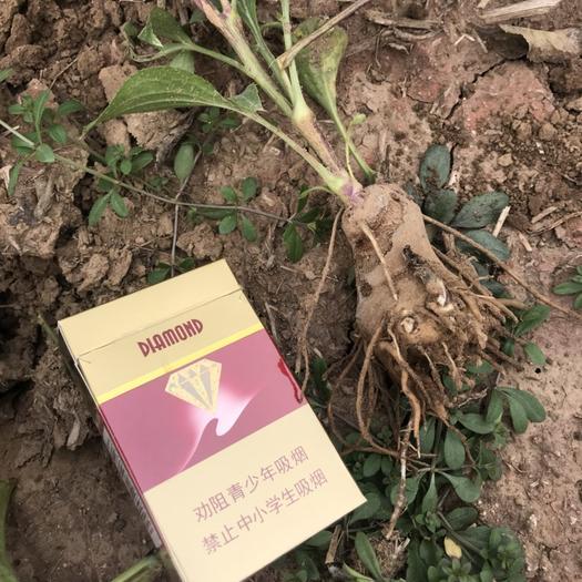 河北省石家莊市正定縣白術種子 白術秧子