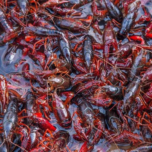 江蘇省蘇州市姑蘇區 小龍蝦清水龍蝦精品塘蝦