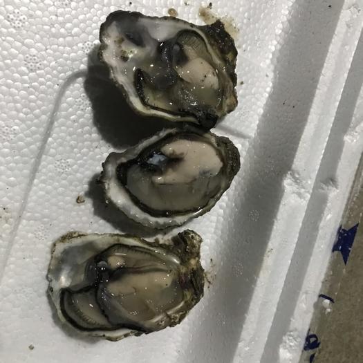 廣東省汕頭市澄海區 生蠔(牡蠣)大量批發