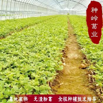 新品种粉葛苗精选粉葛种植苗无核粉葛苗种植苗无渣粉葛0代苗