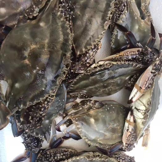 江蘇省連云港市贛榆區梭子蟹 自家漁船打撈,當天打撈當天發貨