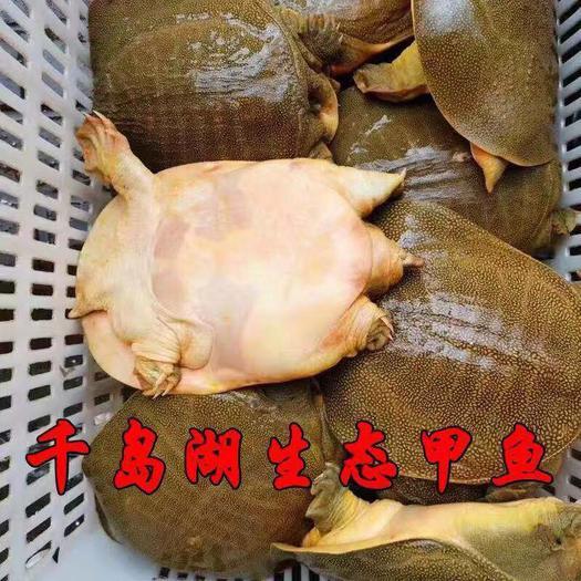 浙江省杭州市蕭山區 1.5斤甲魚外塘老鱉王八中華鱉團魚水魚清水鱉活體包郵青黃色