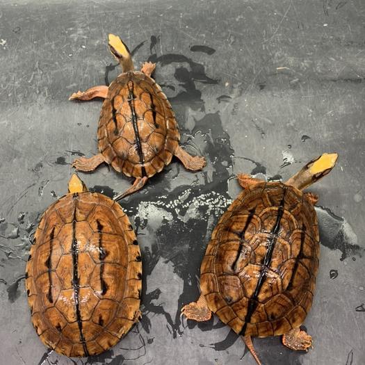 廣東省東莞市東莞市三線閉殼龜 金錢龜,也叫三線閉合龜。