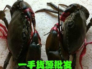 云南省昆明市盤龍區青蟹 2.0-2.5兩 公蟹 野生