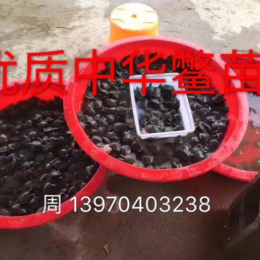 江西省撫州市南豐縣 大規格優質健康甲魚苗,不擇氣候,成活率高。