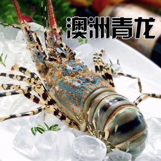 廣西壯族自治區防城港市防城區 澳洲進口青龍蝦 規格0.7-1斤一只