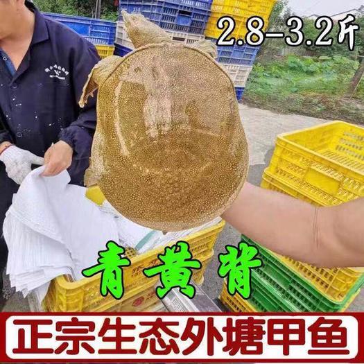 浙江省杭州市蕭山區 大甲魚農家自養生態無公害中華老鱉海鮮活團魚水魚青黃背