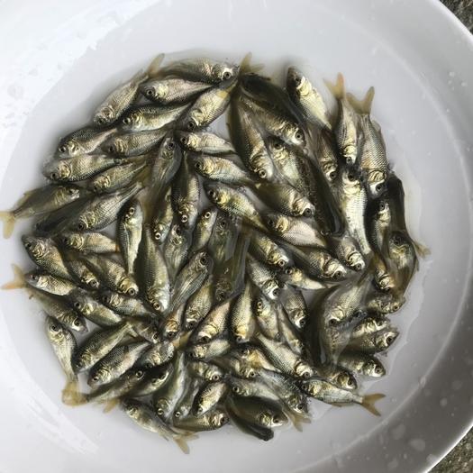 廣東省廣州市花都區 鯉魚苗