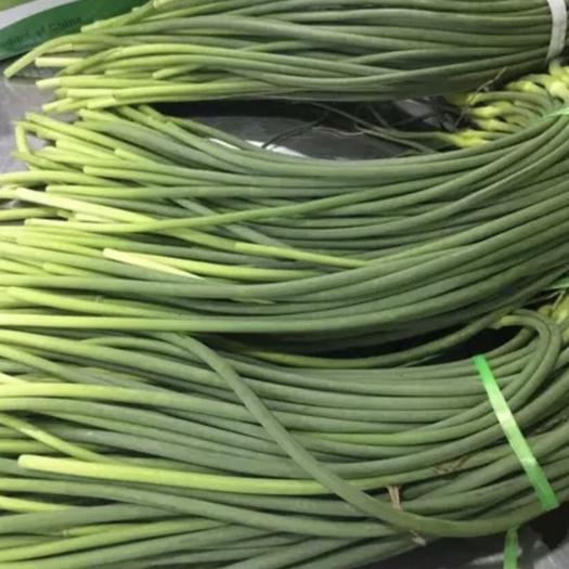 江蘇省蘇州市相城區射陽蒜苔 70cm以上