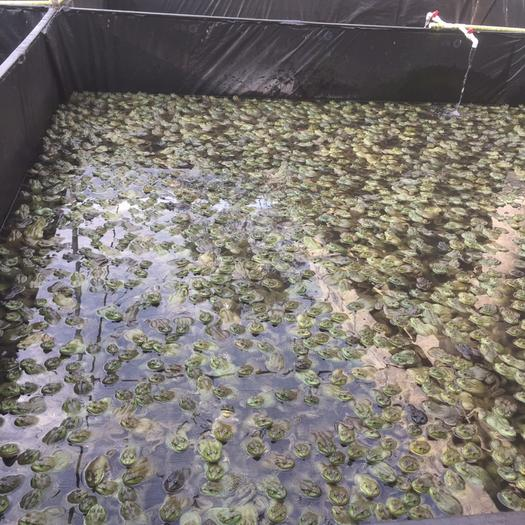 廣東省湛江市廉江市 自己養的牛蛙,需要的老板可以私聊我。