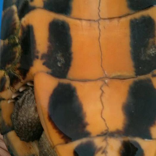 廣西壯族自治區玉林市博白縣南石龜苗 13年的老石龜