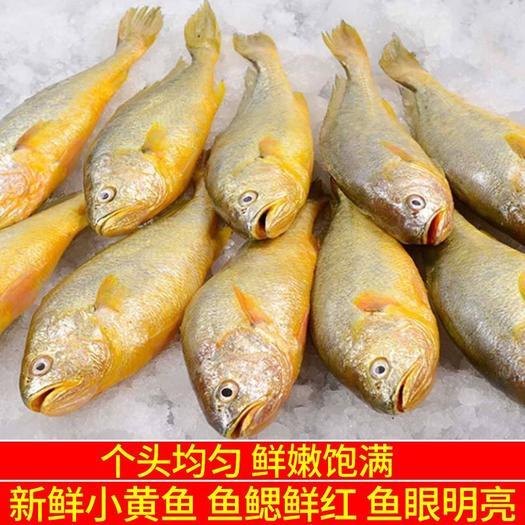 山東省日照市東港區 【順豐包郵】野生黃花魚冷凍黃花魚大黃魚小黃魚新鮮海鮮批發
