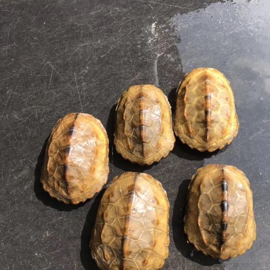 廣東省茂名市電白區日本石龜 日石龜冷水黃金甲金燦燦健康全品