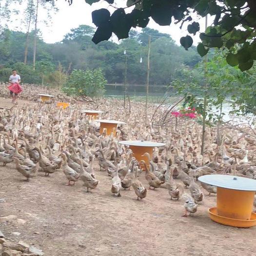 廣西壯族自治區玉林市玉州區白羽青殼鴨蛋 食用 散裝