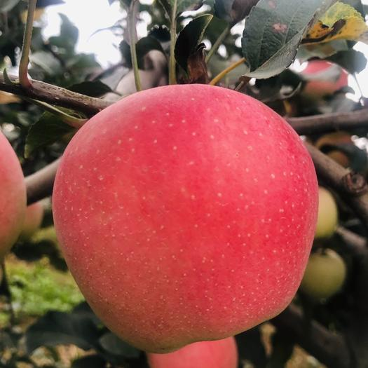陜西省咸陽市興平市紅富士蘋果 父母辛苦種的,不打蠟,不催紅,鮮果直銷,口感非常棒,你值得!