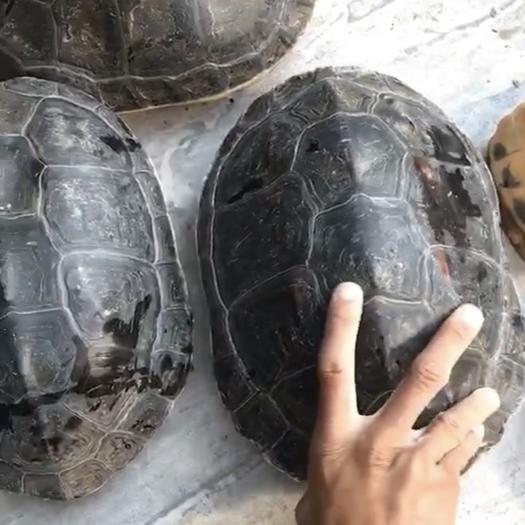 廣東省東莞市東莞市中華花龜 花龜,草龜 鱷龜