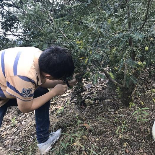 浙江省寧波市海曙區 海拔600米高山上的香榧子,自家種植