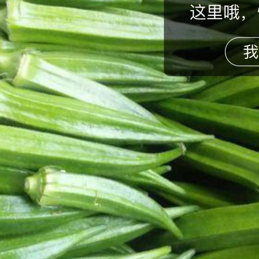 海南省東方市東方市黃秋葵 8 - 10cm