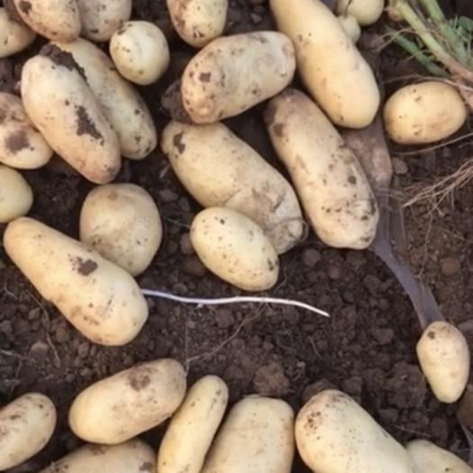 山東省濰坊市高密市 (2兩以上)精品土豆供應,價格美麗