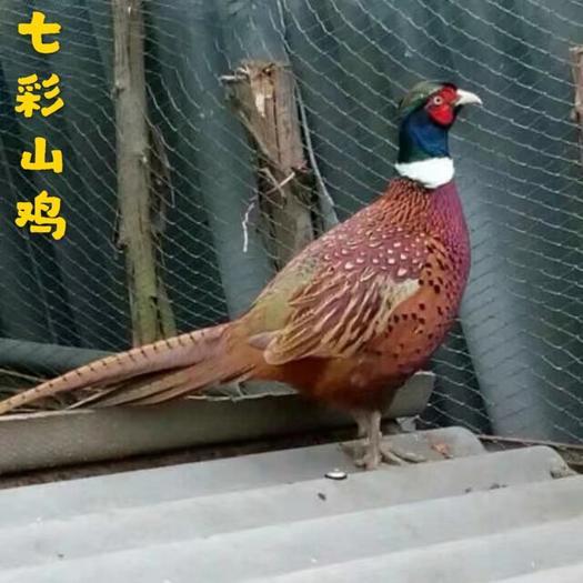 廣東省廣州市白云區野山雞苗 野山雞又名七彩山雞,集觀賞.藥物.高蛋白質低脂營養于一身.